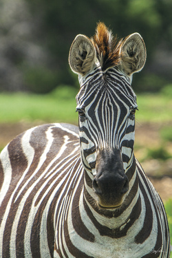 Grevy's Zebra - The Imperial Zebra