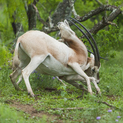 Scimitar-Horned Oryx 4