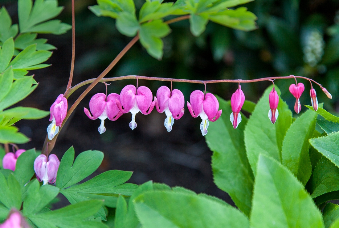 Bleeding Heart Detail, by Doug Prather As the plants' common name suggests, bleeding hearts bear heart-shaped flowers,