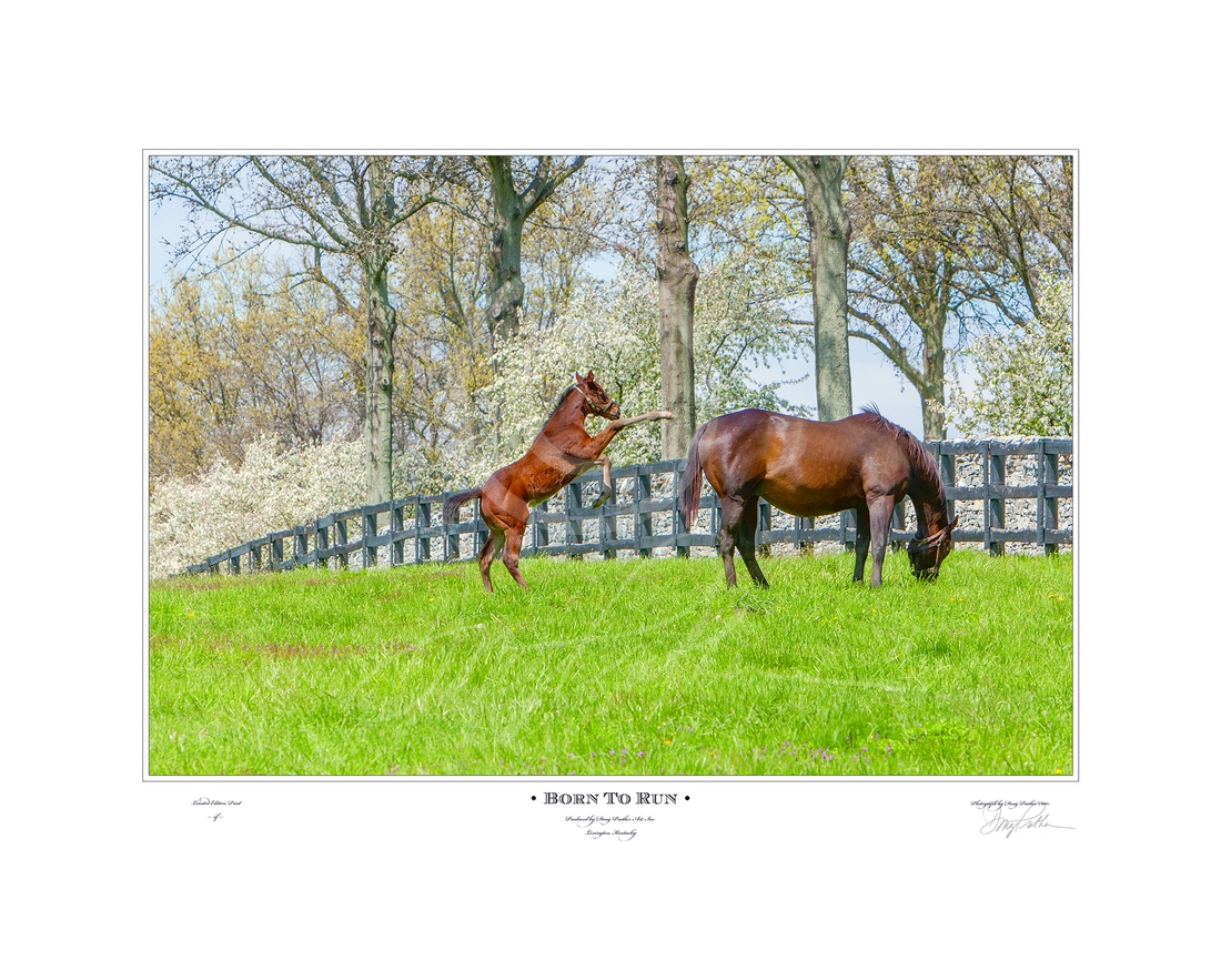 Born To Run, Art Print. A new born Thoroughbred foal jumps for joy on a spectacular spring day in the Bluegrass. Crab apple trees line the stone wall running along his paddock, at the entrance to Hill 'n' Dale Farm, Lexington, KY
