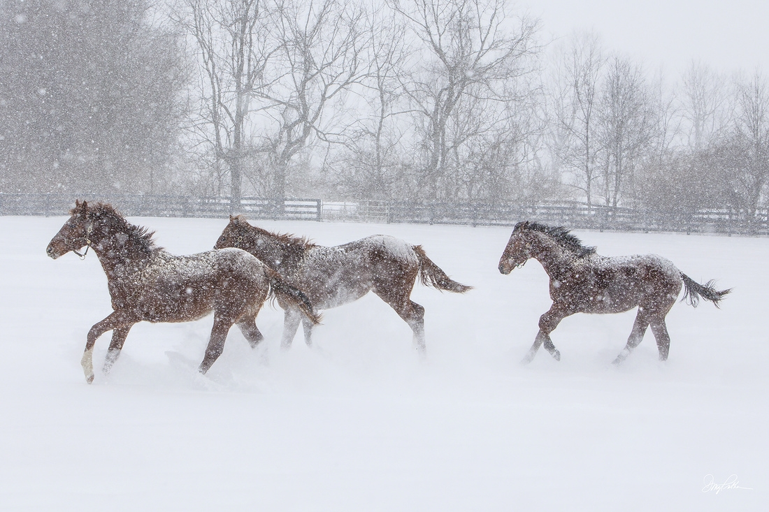 Bluegrass Blizzard Large Art Print. Yearling Thoroughbreds race through a blizzard on a Bluegrass horse farm running blindly through deep and falling powdery snow.