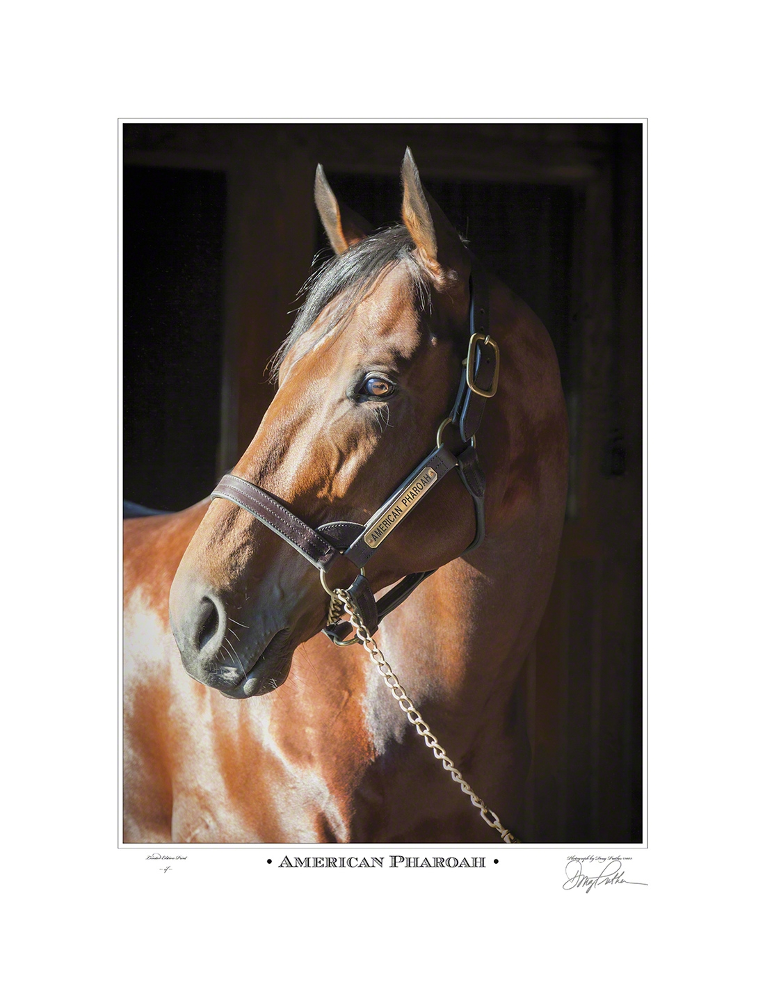 American Pharoah, 2015 Triple Crown Winner portrait photographed his stallion barn on Ashford Stud, Versailles, Kentucky