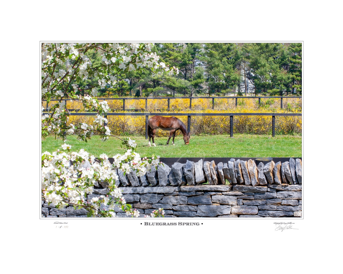 Thoroughbred; yearling; grazes; paddock; spring afternoon; Bluegrass; spring;  Blooming trees; full bloom;, famous dry laid; stone walls, spring; flowers; lush; greening; Bluegrass; paddocks; Hill 'N' Dale Farms;Lexington; KY; Doug Prather