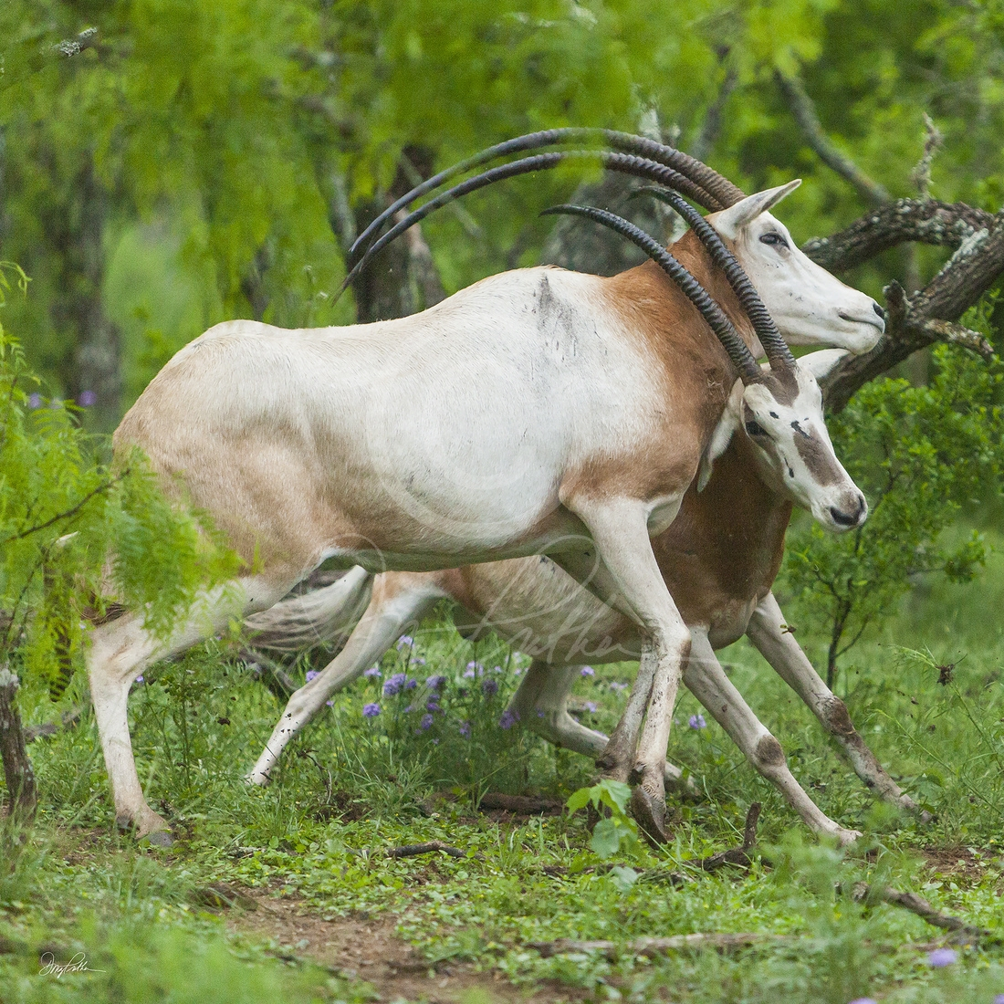 Scimitar-Horned Oryx No. 3