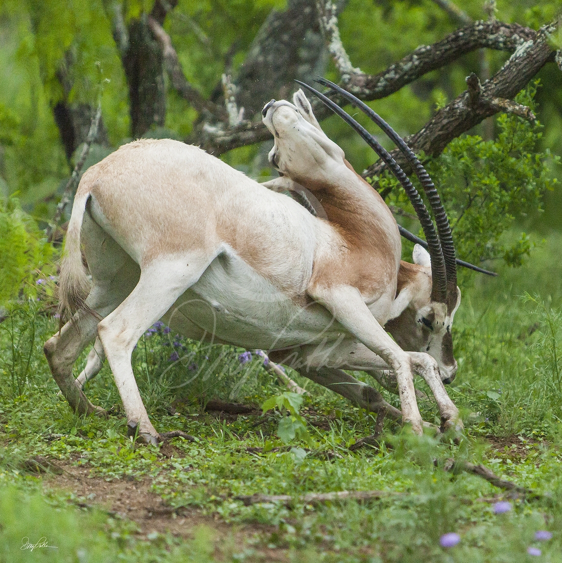 Scimitar-Horned Oryx No. 4