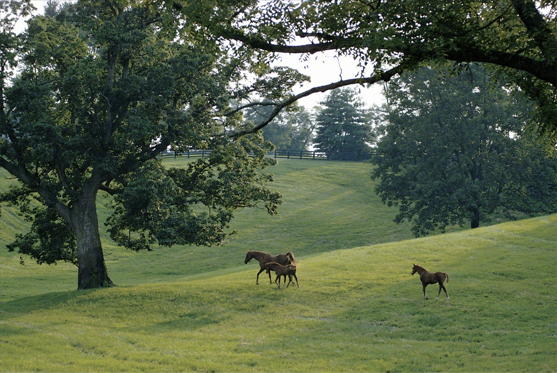 A Thoroughbred mare and two foals stroll on a late summer afternoon in a rolling lush Bluegrass paddock framed by majestic ash trees.