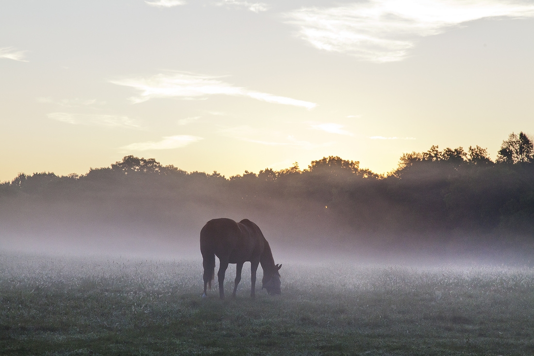 Bluegrass at Daybreak, a fine art horse print. A Thoroughbred is siloutted as a rising sun is about to break over trees and a ground fog hovering on a beautiful summer morning in the Bluegrass. Photograph by Doug Prather