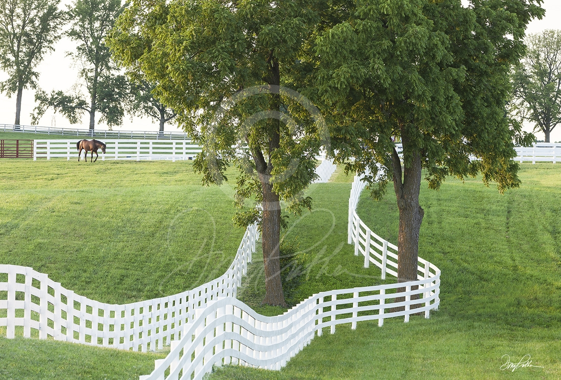 Bluegrass; Calumet; Calumet farm; white fences; thoroughbred; paddock; lush grass; summer; sunset; race horses; racing; triple crown; Kentucky Derby; Keeneland; racing; Doug Prather
