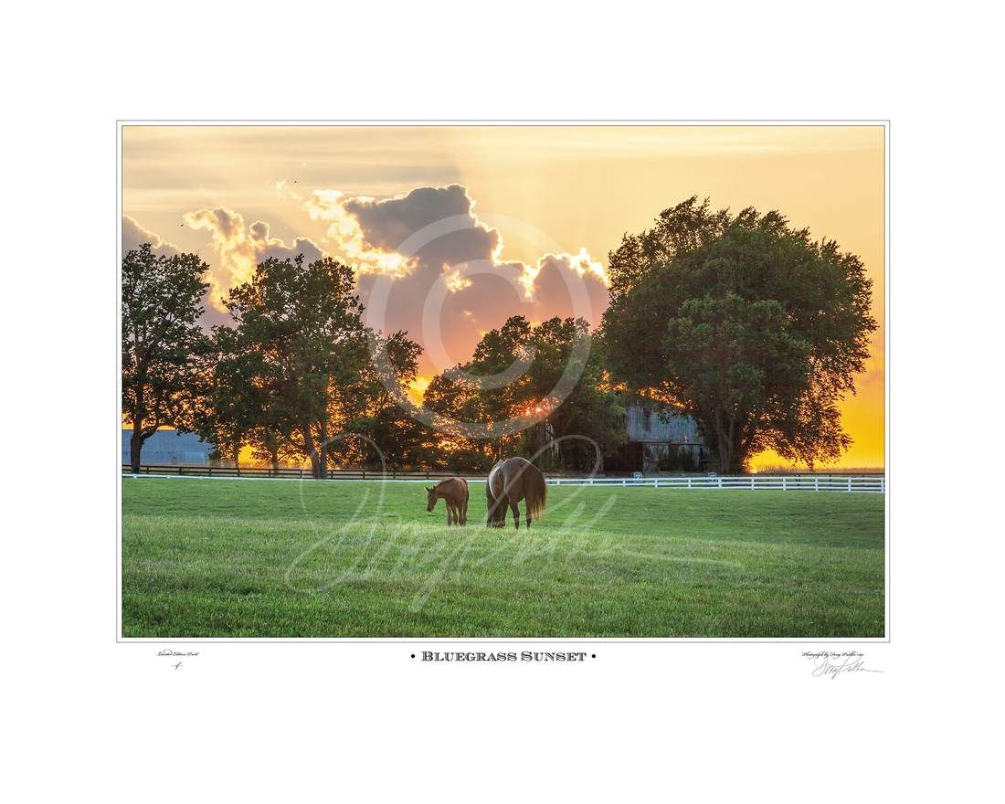 Bluegrass Sunset, a fine art horse print by Doug Prather. A golden sky lights on a late summer afternoon in the Bluegrass. A Thoroughbred mare and her young foal quietly graze in the lush green grass in their white-fenced paddock on the famed Calumet farm