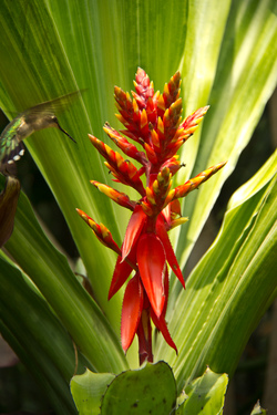 Heliconia and Hummingbird